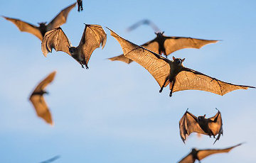 Навукоўцы выявілі ў кажаноў два дзясяткі новых каранавірусаў