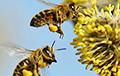 Исследователи рассказали о необычном факте из жизни пчел