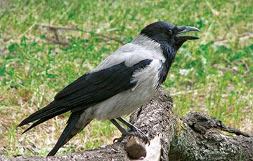 Ученые: Вороны обладают интеллектом семилетнего ребенка