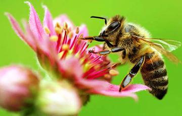 Навукоўцы: Пчолы падзяляюць успаміны на добрыя і дрэнныя