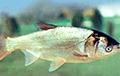 Ученые обнаружили парадоксальный сон у рыб