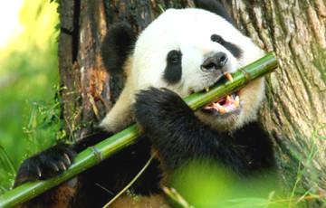 Фотофакт: В Китае впервые обнаружили панду-альбиноса