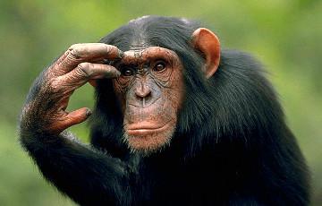 Видеофакт: В Белфасте шимпанзе смастерили лестницу и сбежали из вольера