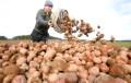 Беларусь впервые начала импортировать картофель во время уборки собственного урожая