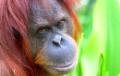 Ученые расшифровали язык орангутангов