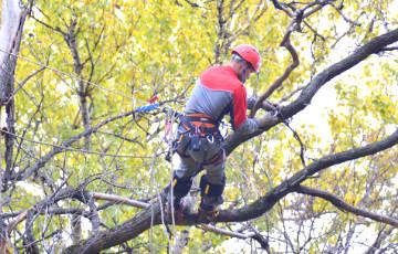 Биолог: Варварскую обрезку деревьев в Минске необходимо остановить