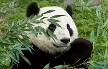 Панда, якая паказала некалькі ўражлівых трукаў стала зоркай Сеціва
