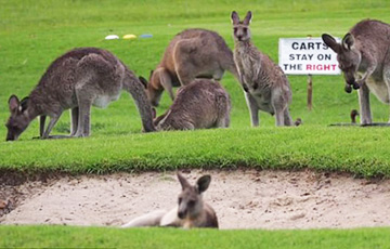 Відэахіт: Вялізны статак кенгуру захапіў поле для гольфа