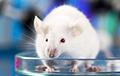 Ученые заставили мышей не хотеть спать