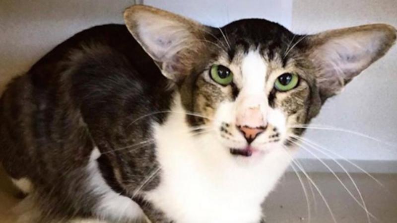 В США нашли кота, похожего на злодея из новых «Звездных войн»